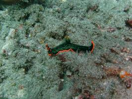Nudibranch with DSM DIVE