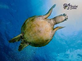 Green sea turtl