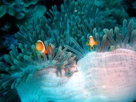 Anenome Fish