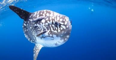 Dive with Mola Mola at Legend Diving Lembongan