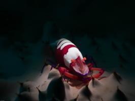 Emporar shrimp