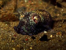 Night dive - Bobtail squid