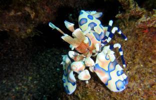 Macro wonders - Harlequin shrimps