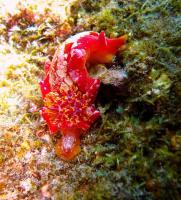 Spanish Dancer Nudibranch