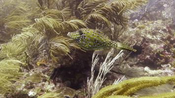 Scrawled filefish at Sisters Rocks, Carriacou