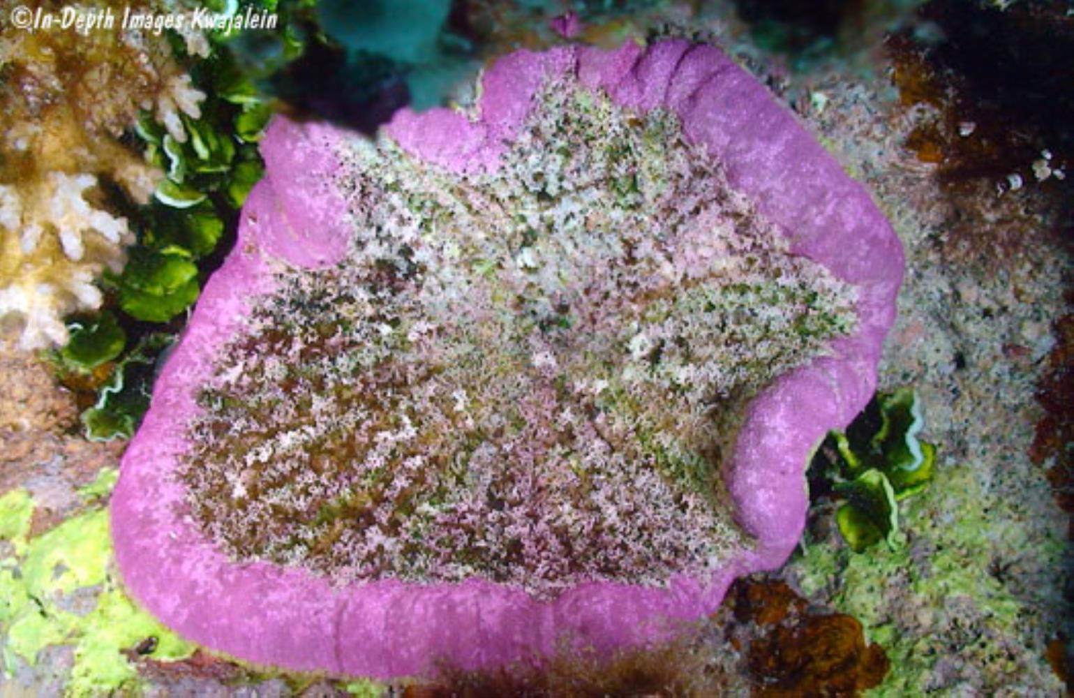 Adhesive Sea Anemone