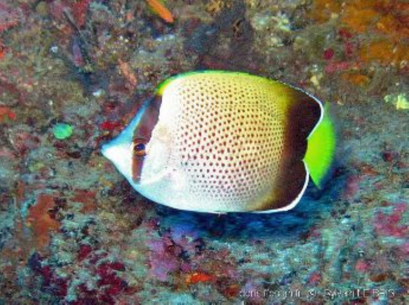 African Butterflyfish