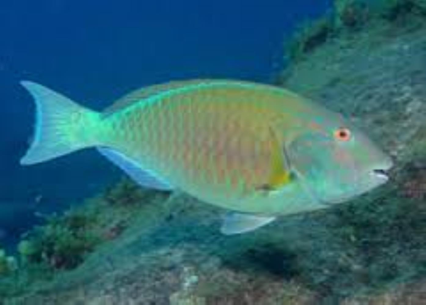Agassiz's Parrotfish