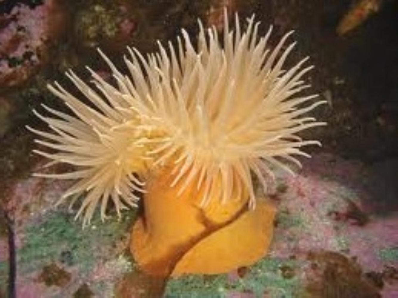 Antarctic Anemone