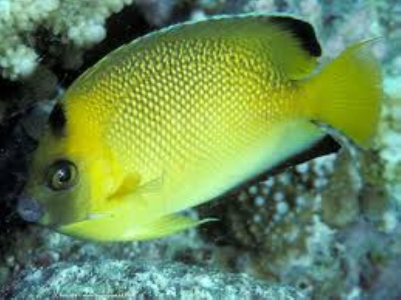 Armitage Angelfish