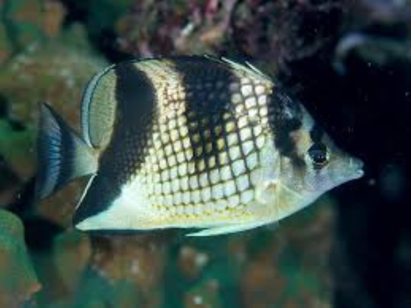 Asian Butterflyfish