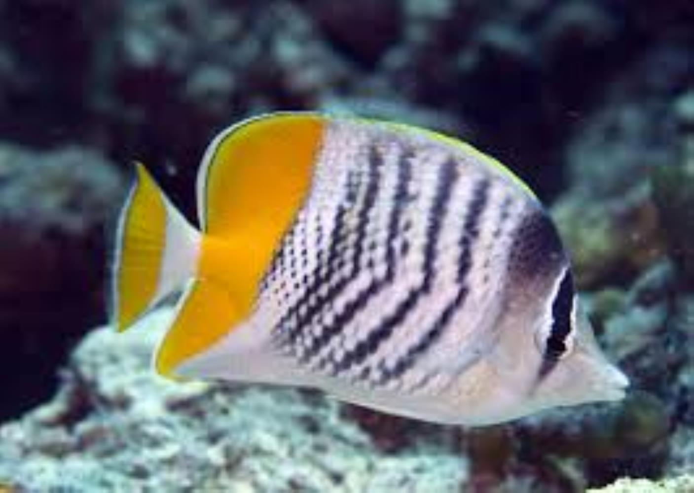 Atoll Butterflyfish