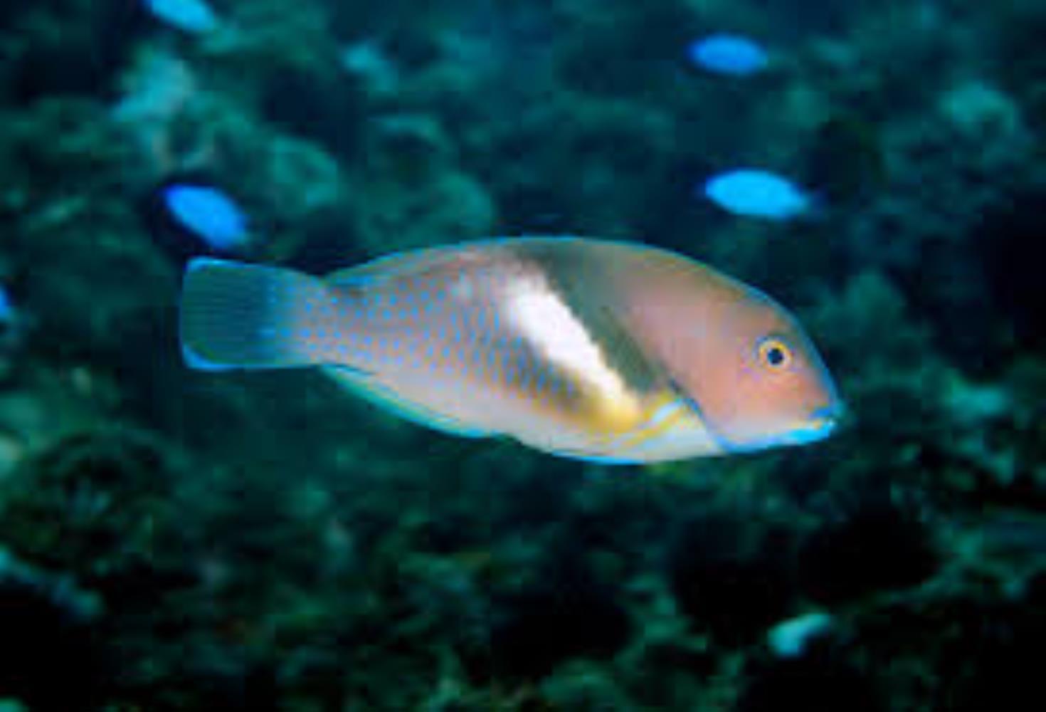 Azurio Tuskfish
