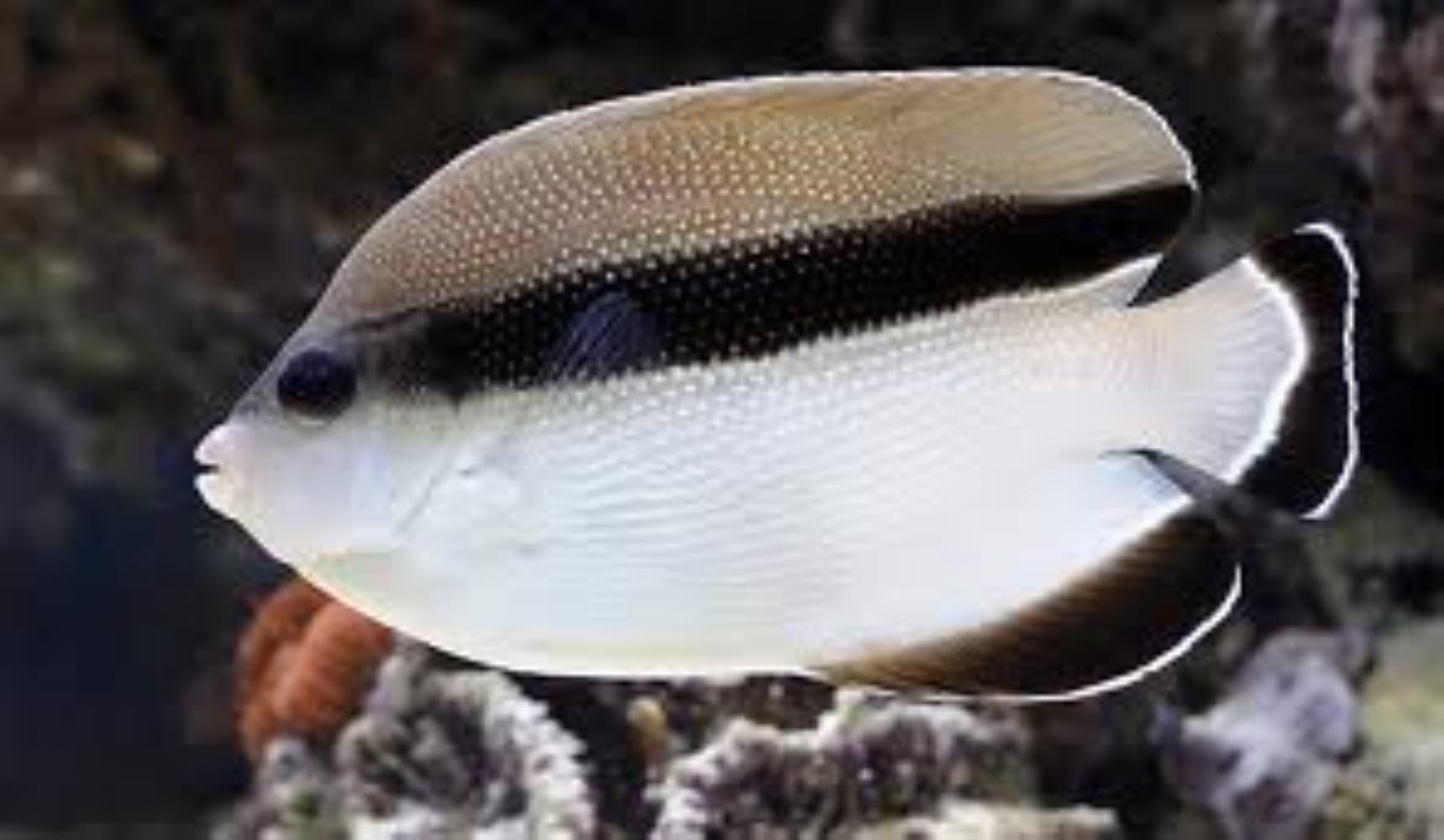 Banded Angelfish