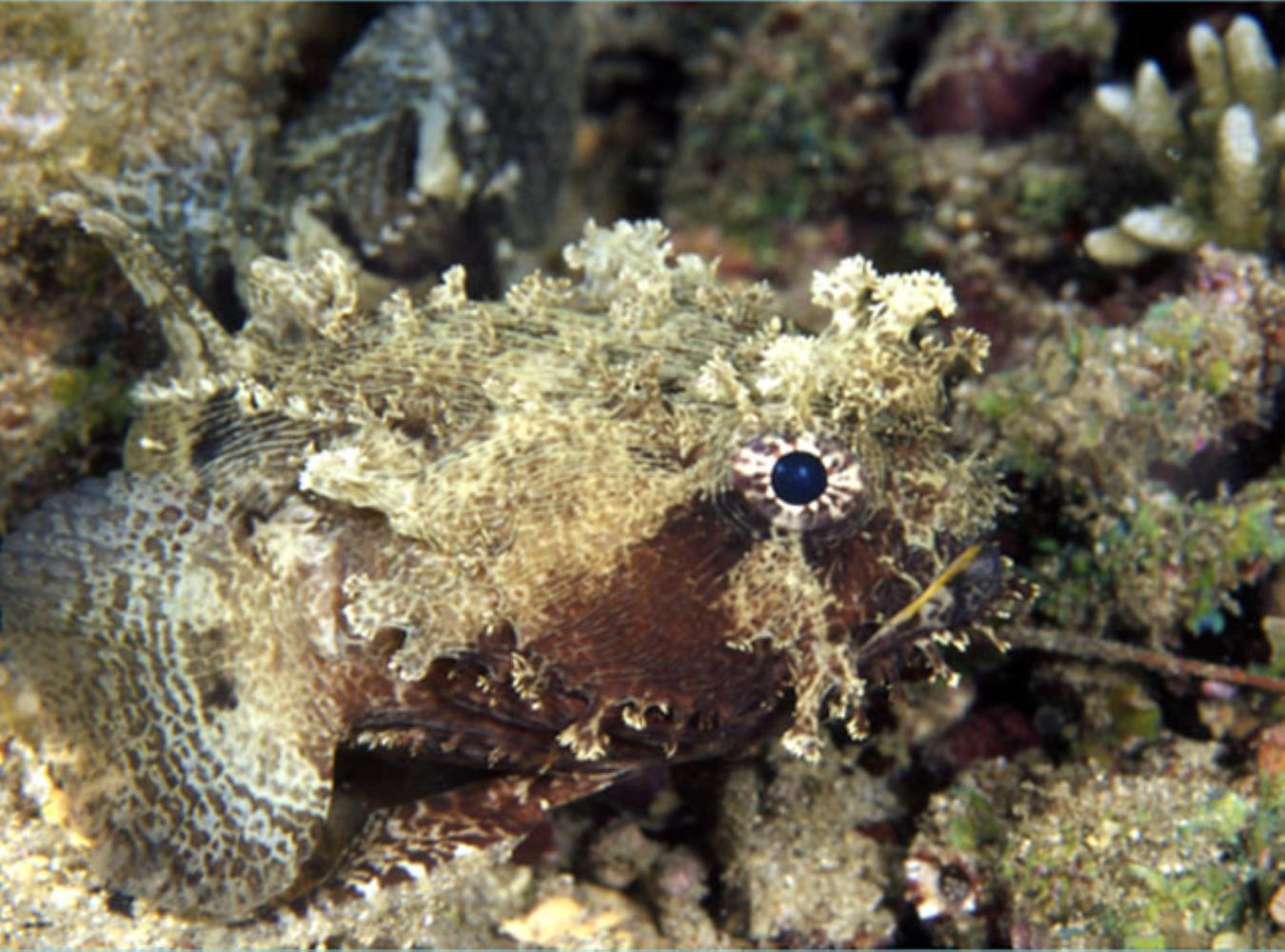 Banded Frogfish
