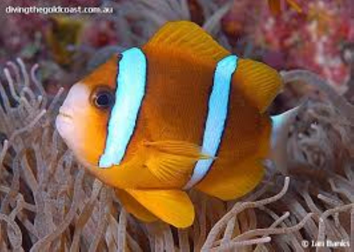 Barrier Reef Anemonefish