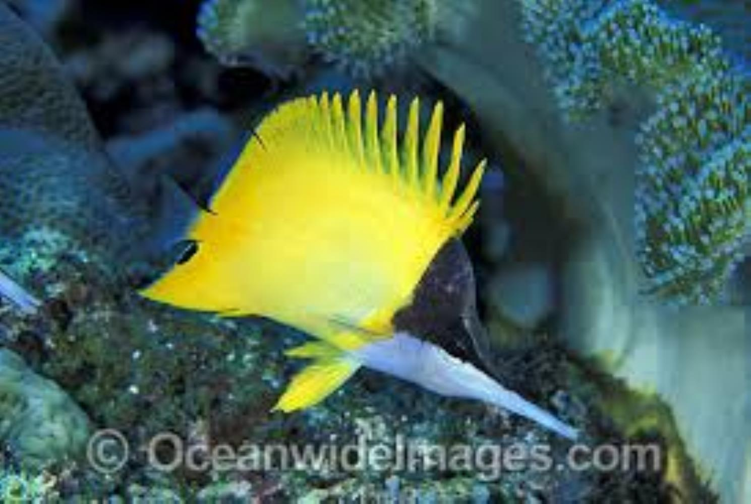 Big Longnose Butterflyfish