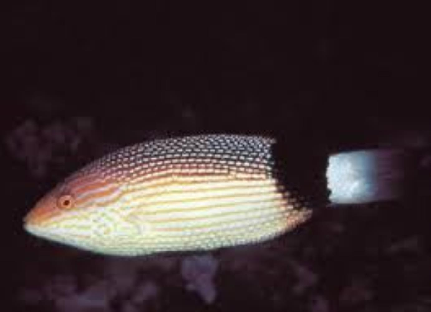 Black-banded Hogfish
