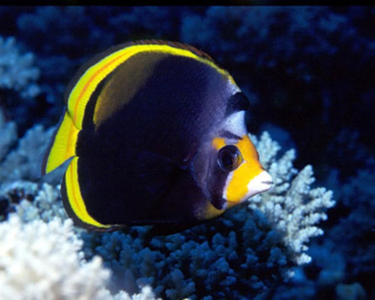 Black Butterflyfish