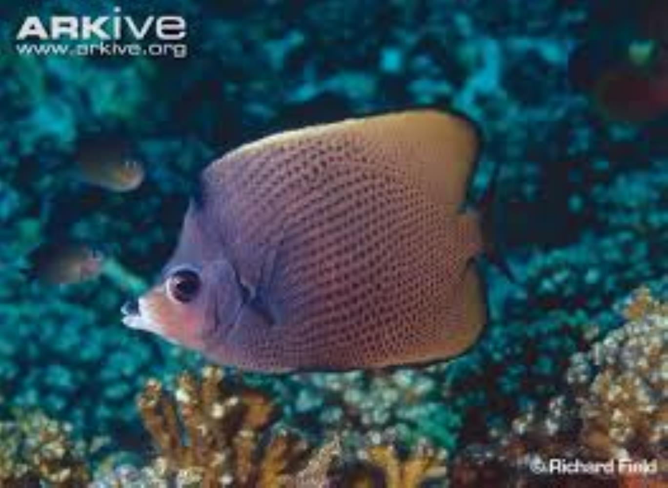 Black-spotted Butterflyfish