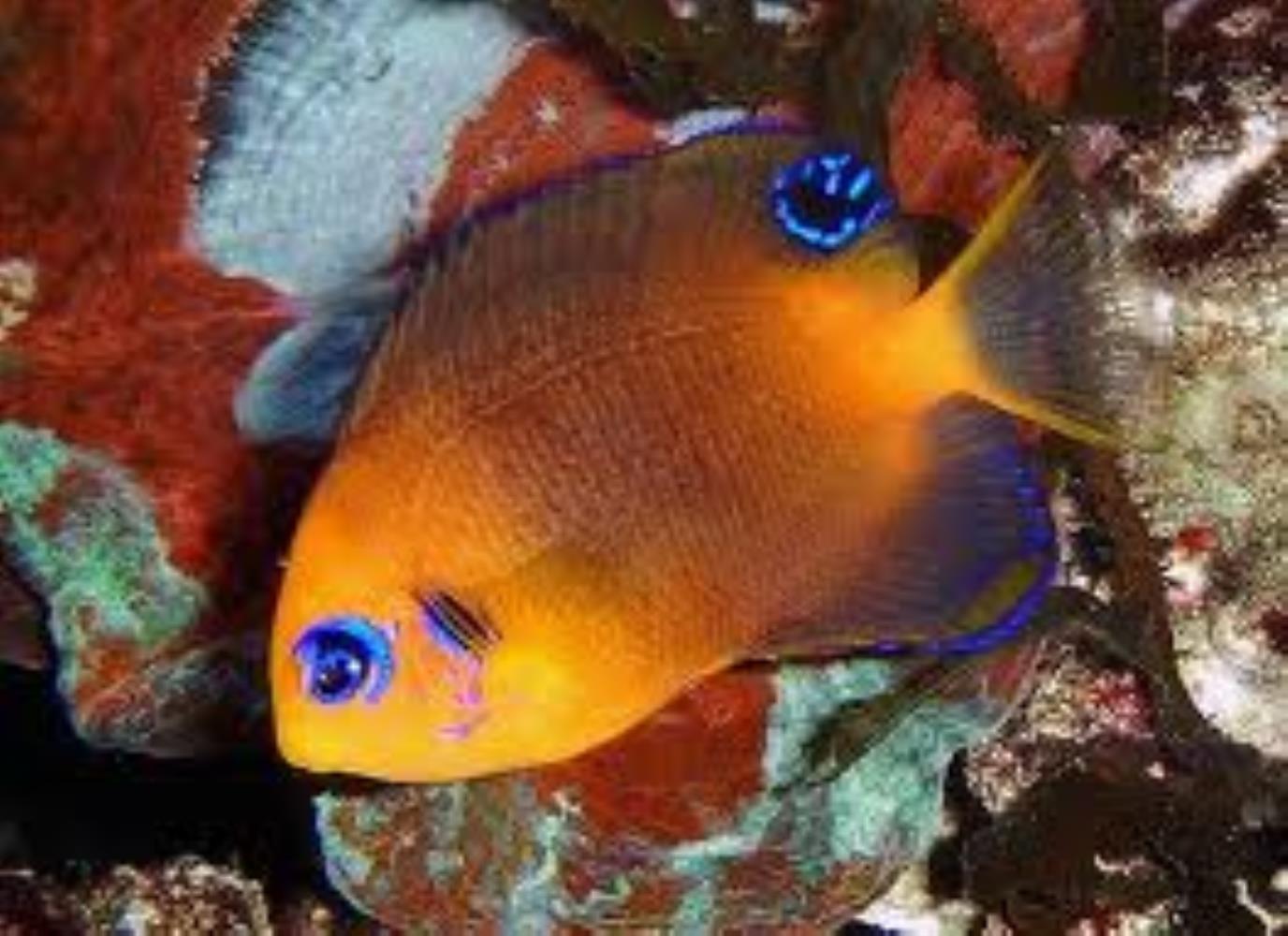 Blackear Angelfish