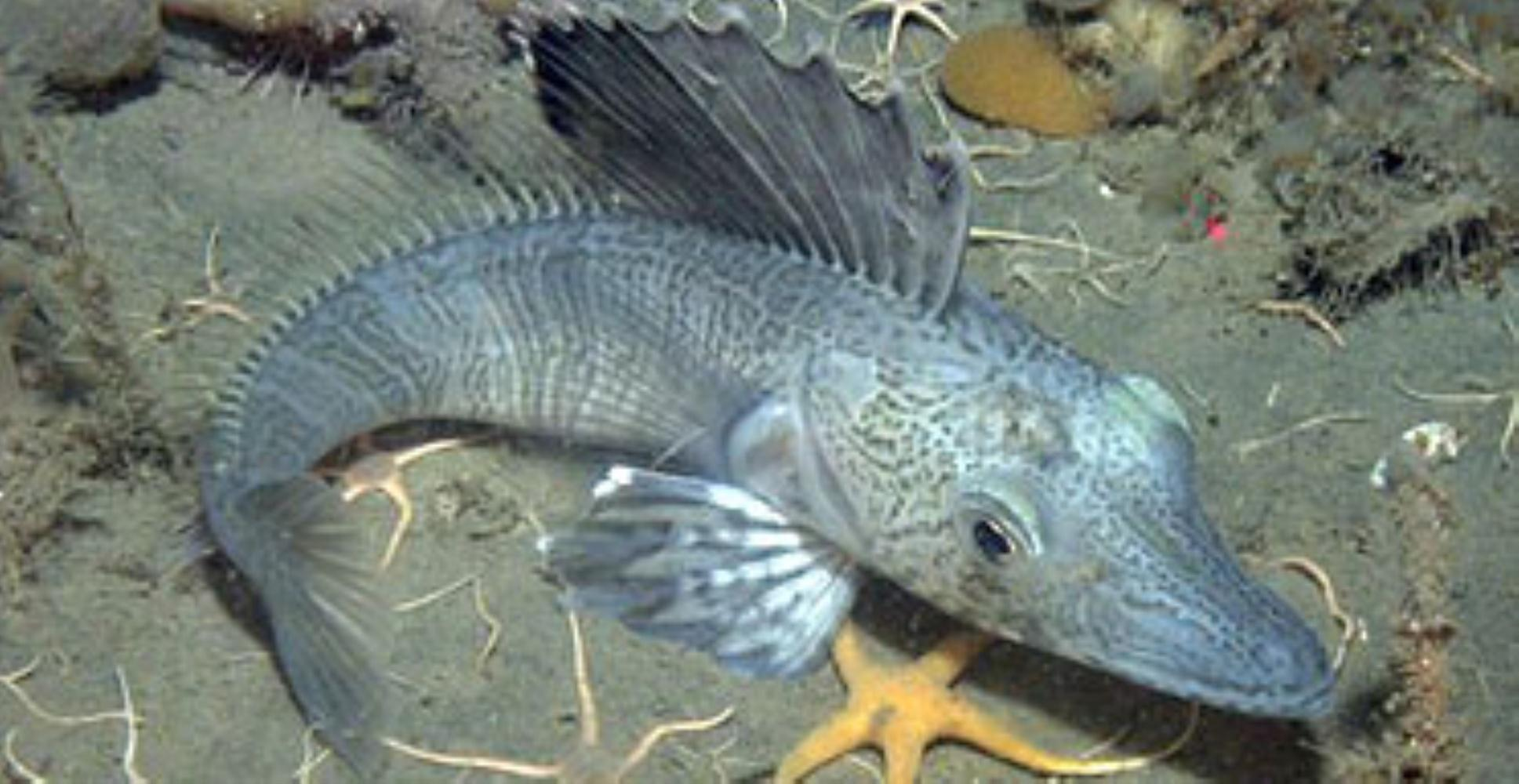 Blackfin Icefish