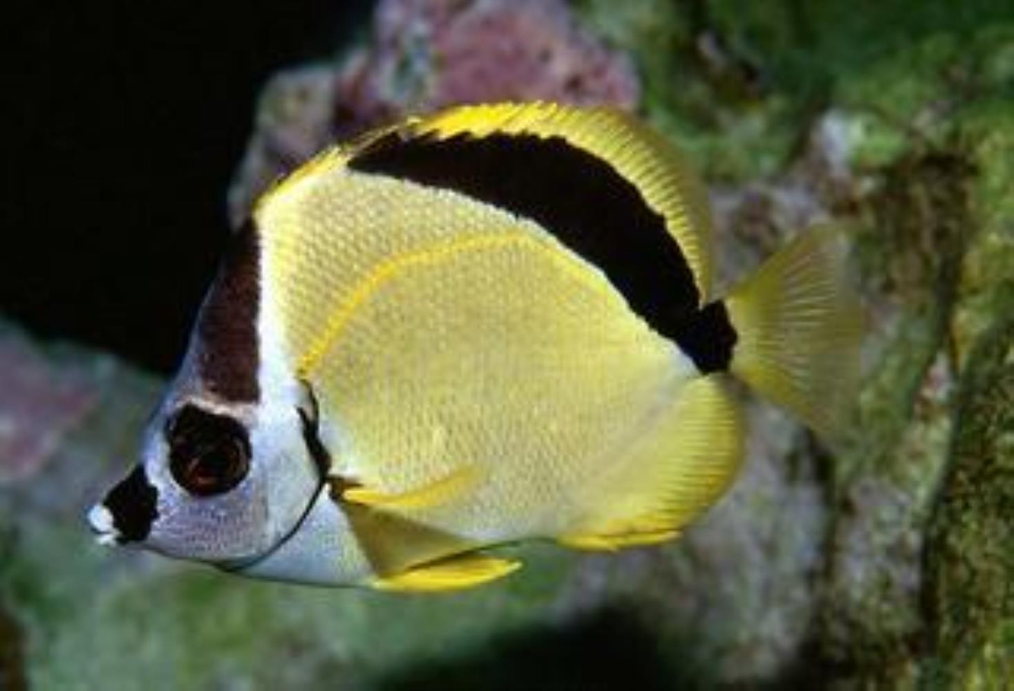 Blacknosed Butterflyfish