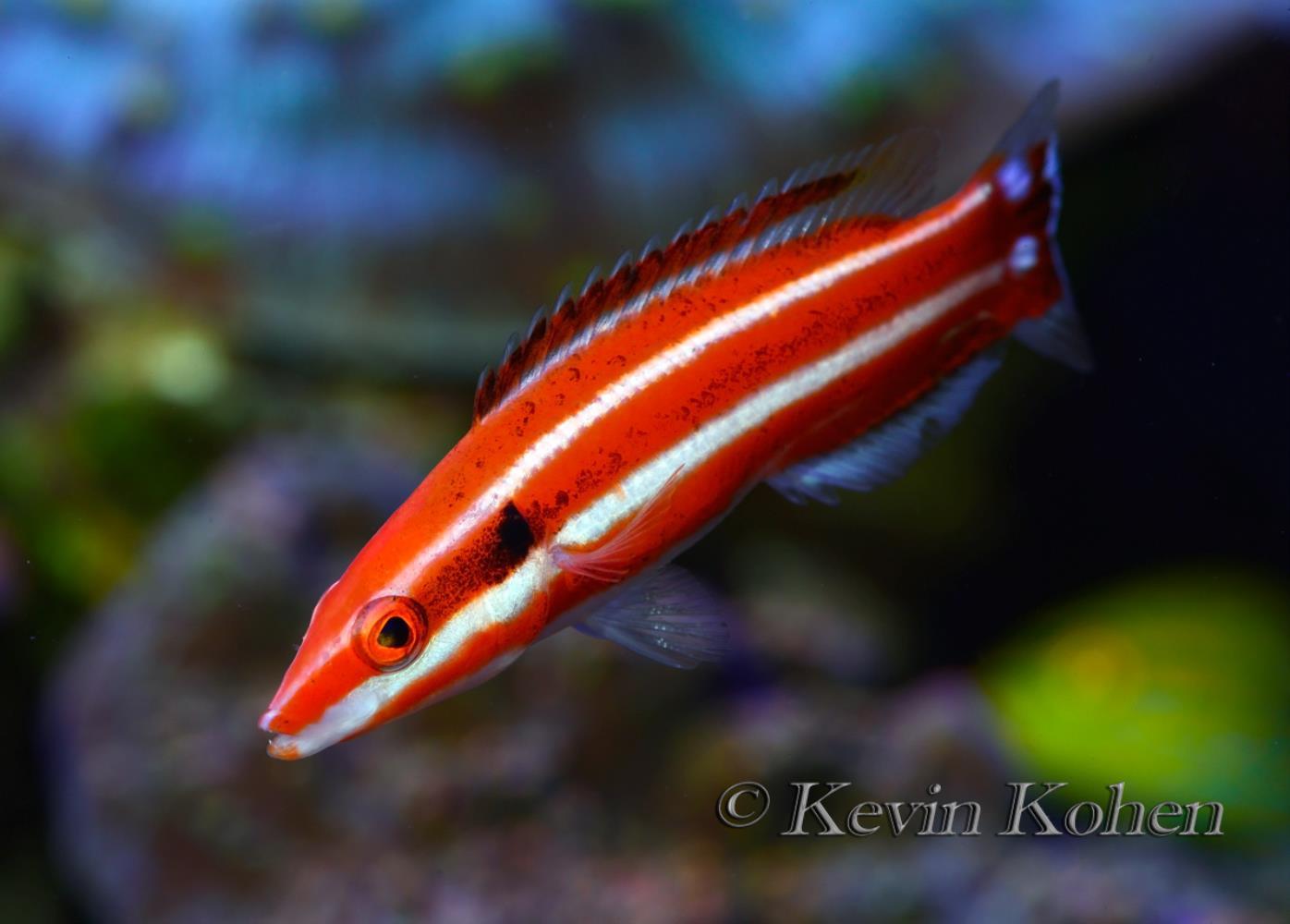 Blackspot Hogfish