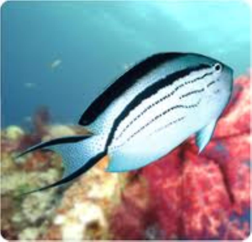 Blackstriped Angelfish