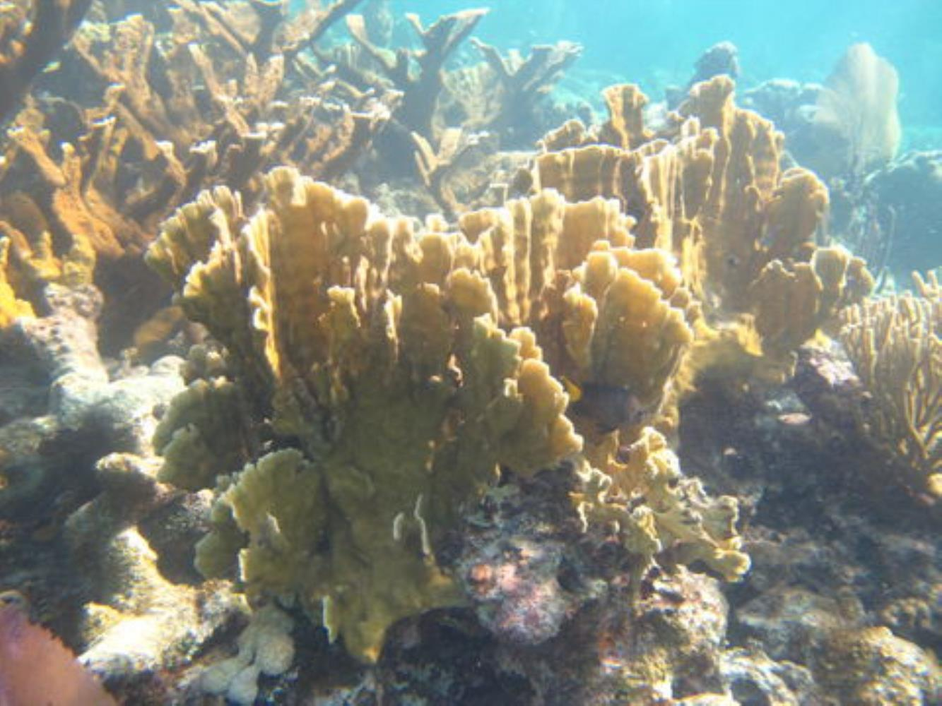 Bladed Fire Coral