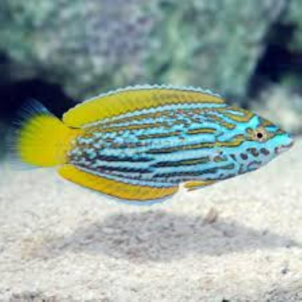 Blue and Yellow Wrasse