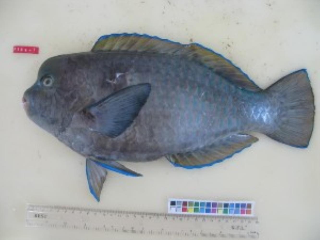 Blue Humphead Parrotfish