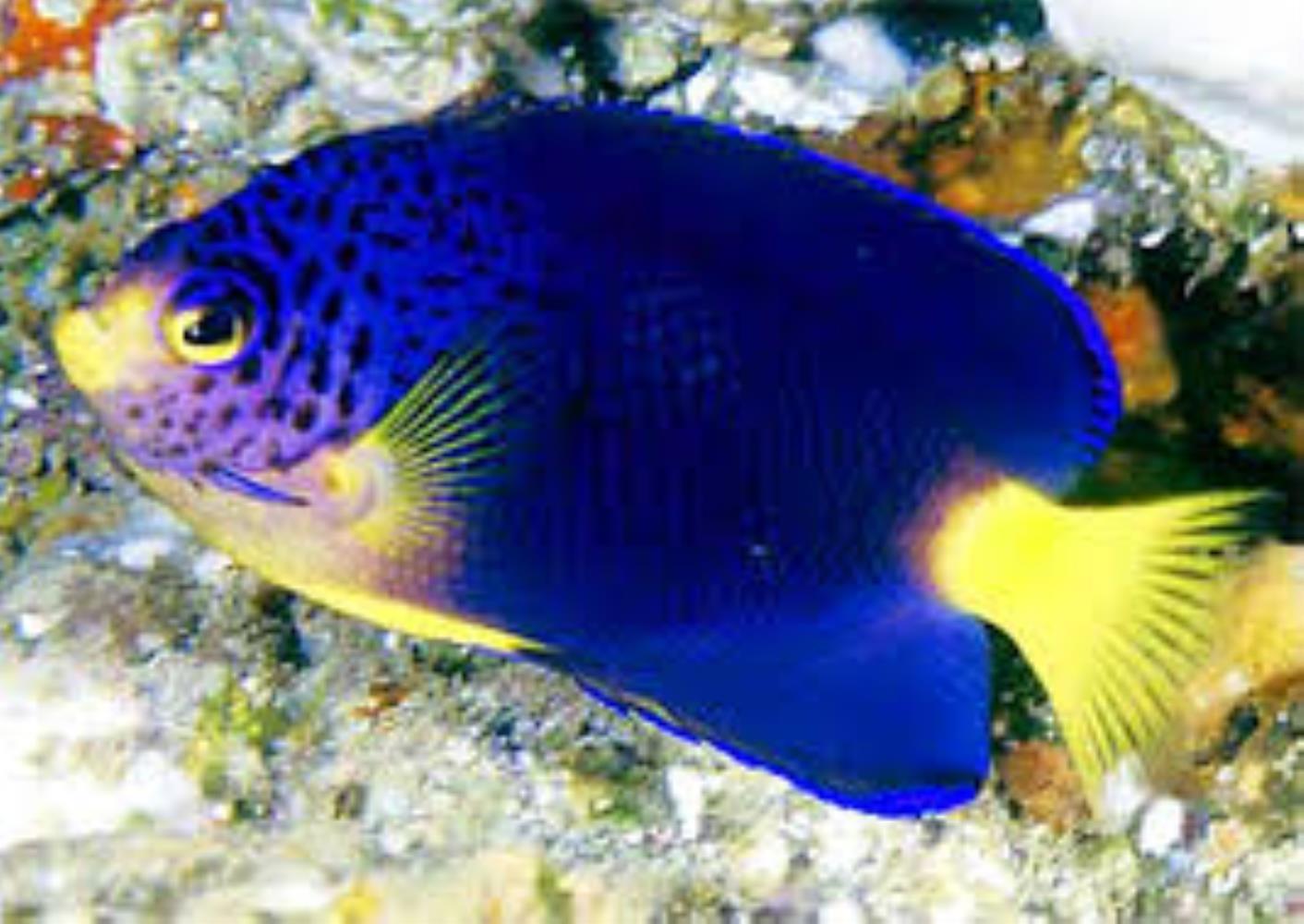 Blue Mauritius Angelfish