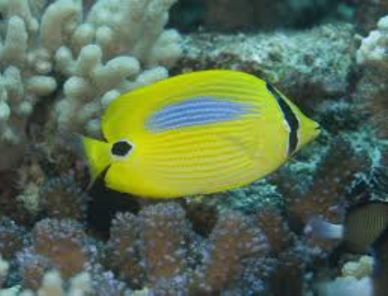 Blueblotch Butterflyfish