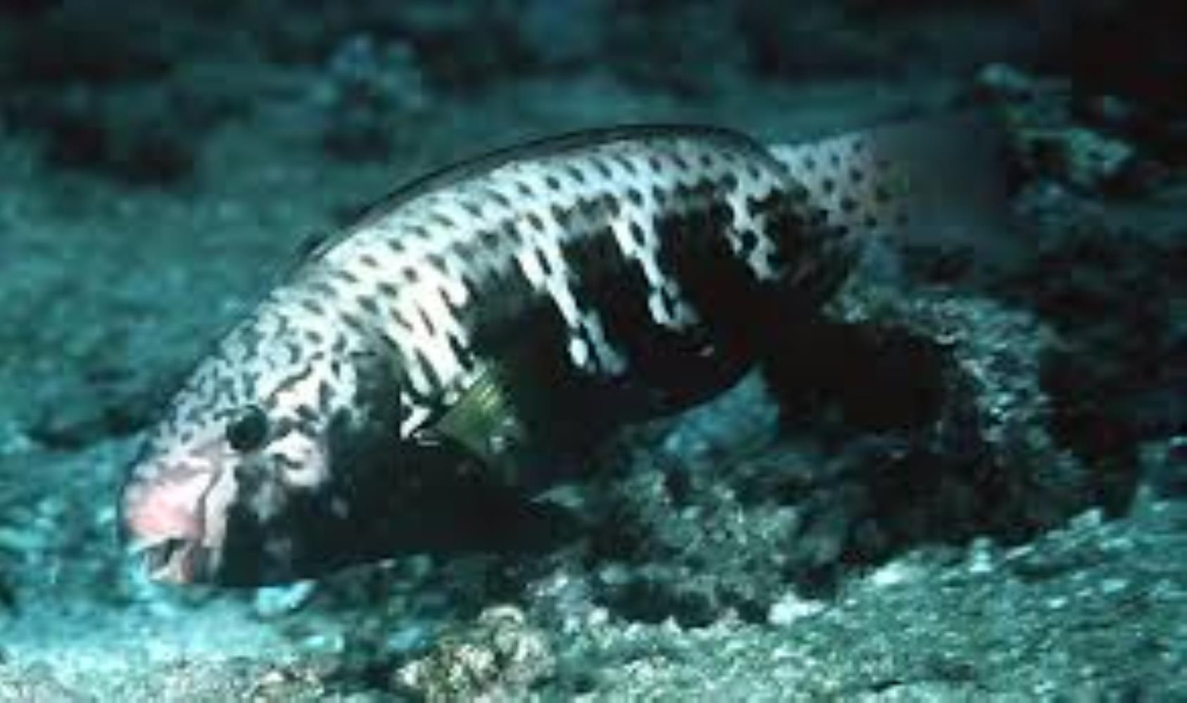 Bluemoon Parrotfish