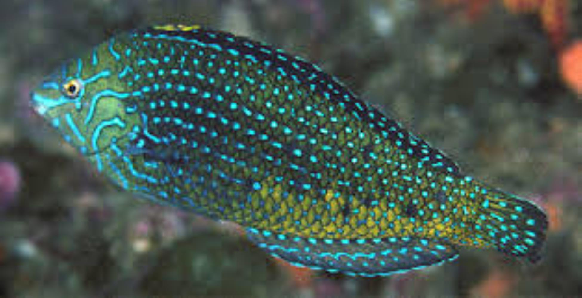 Bluespotted Wrasse