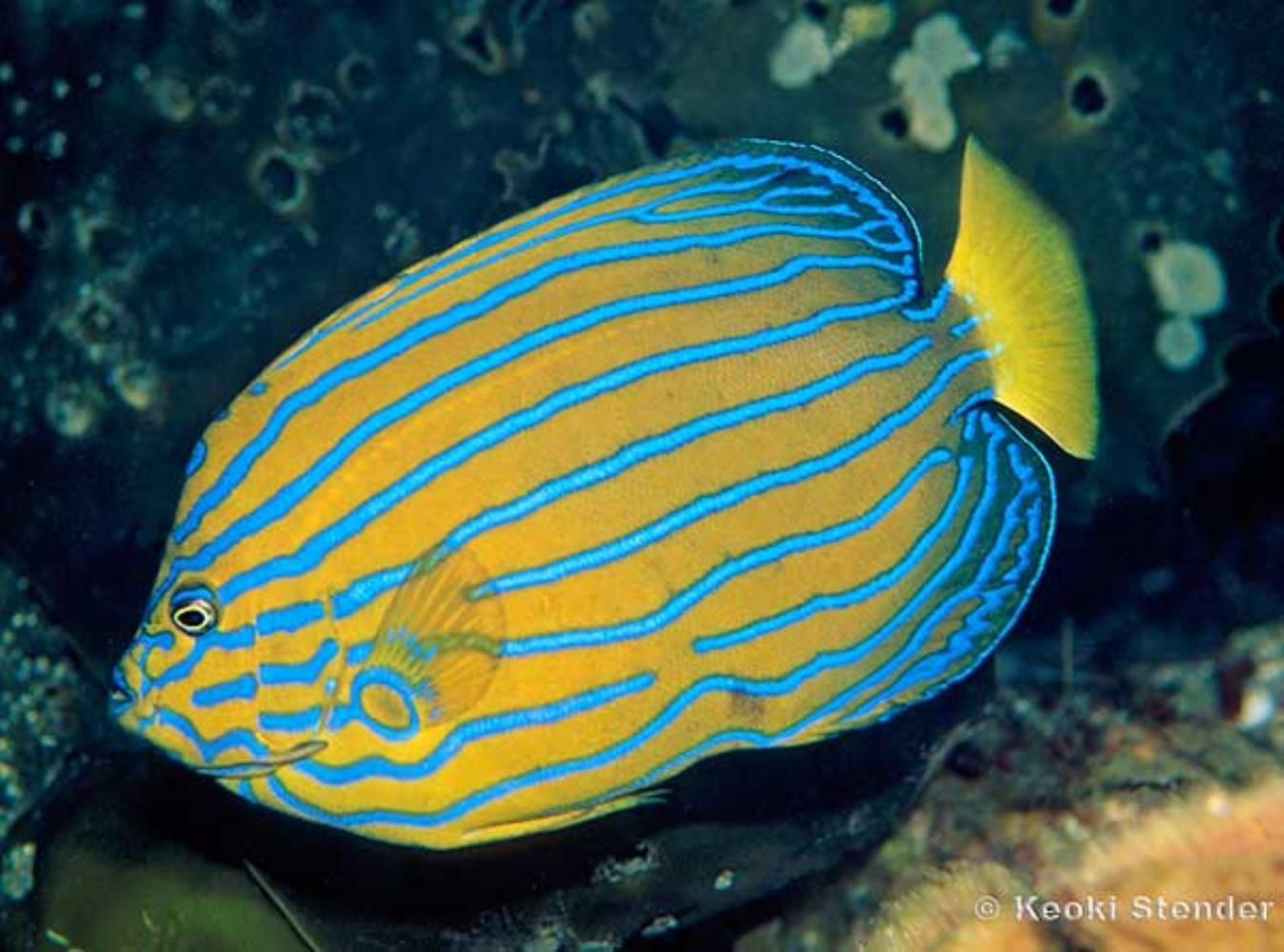 Bluestriped Angelfish Information and Picture | Sea Animals
