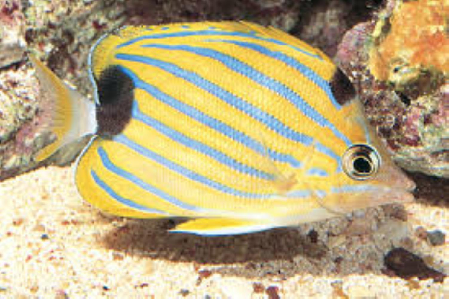 Bluestriped Butterflyfish