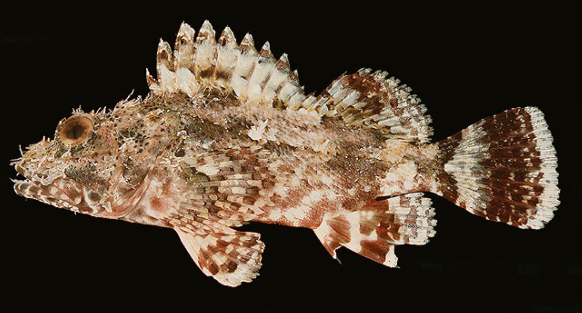 Bold Scorpionfish