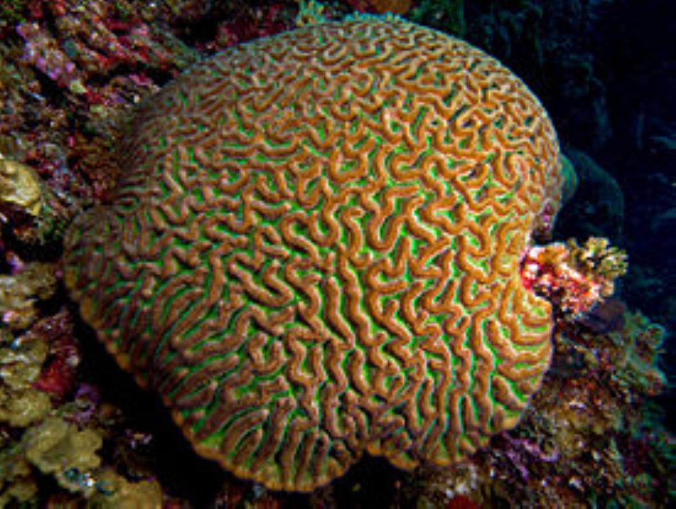 Boulder Brain Coral