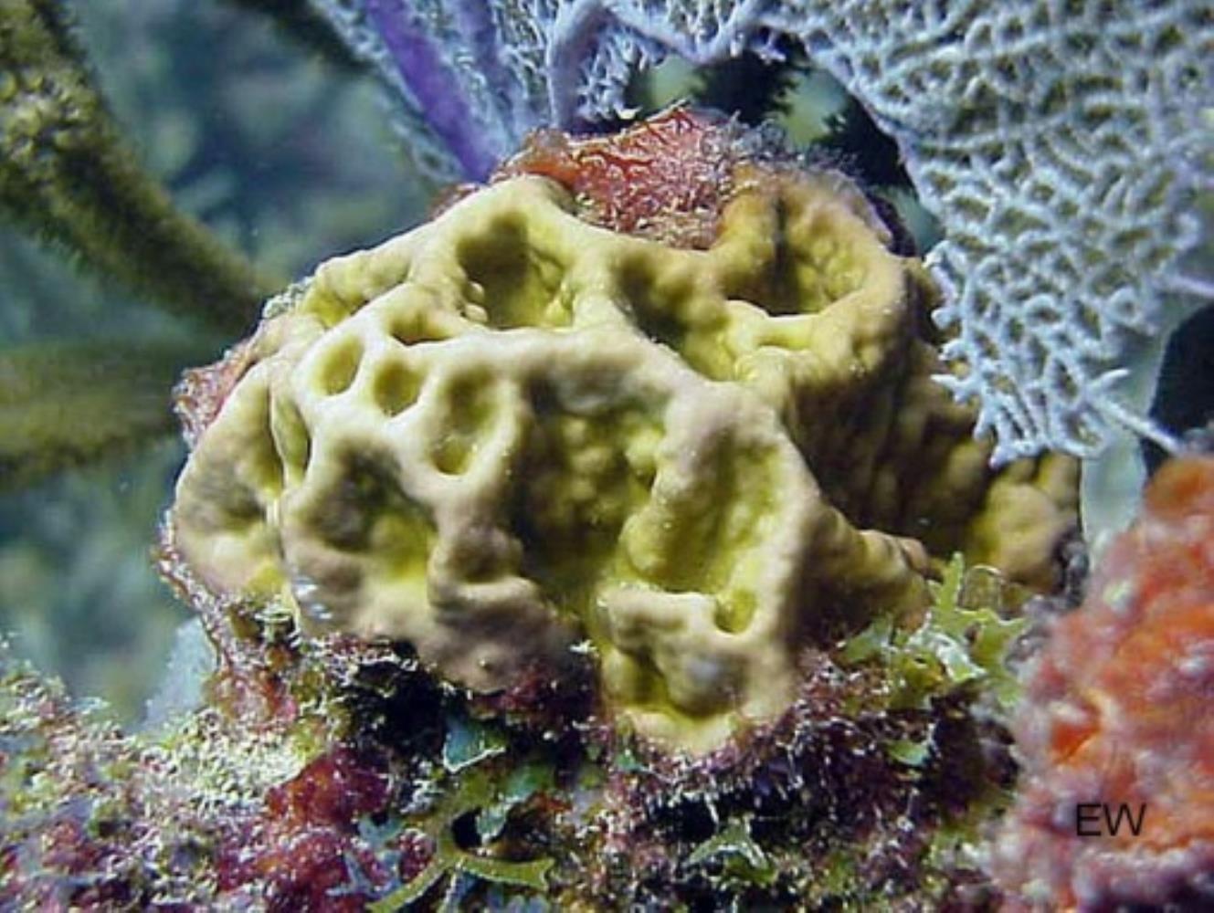 Box Fire Coral