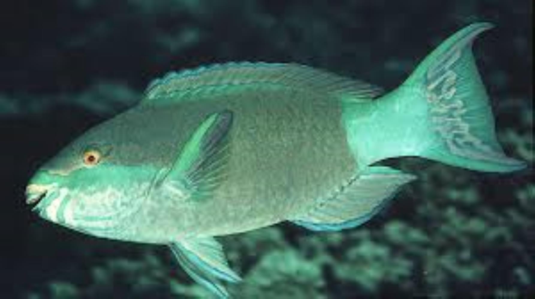 Bridled Parrotfish