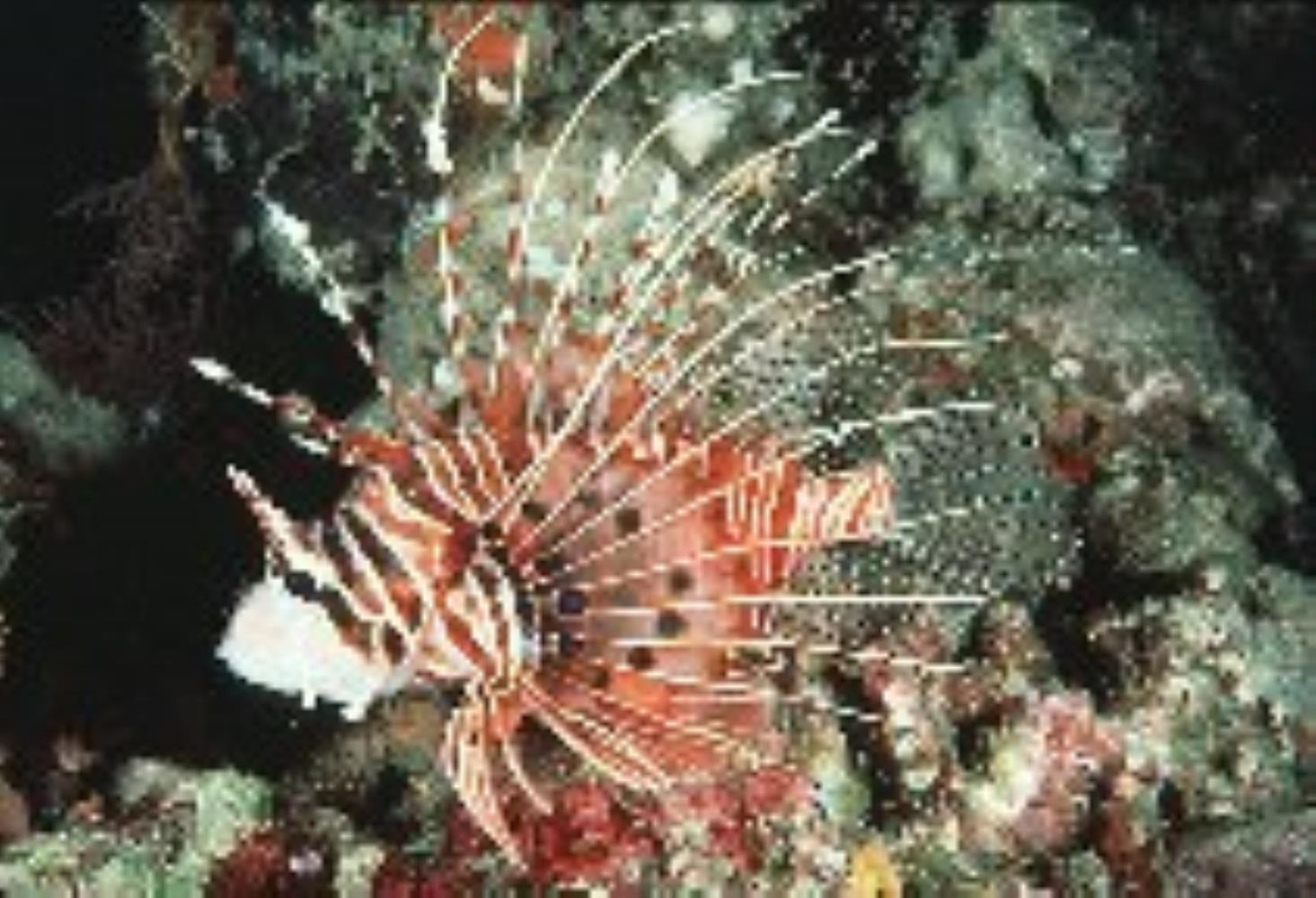 Broadbarred Firefish