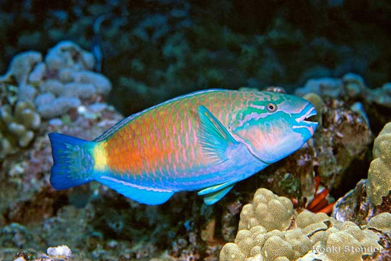 Bullethead/Daisy Parrotfish