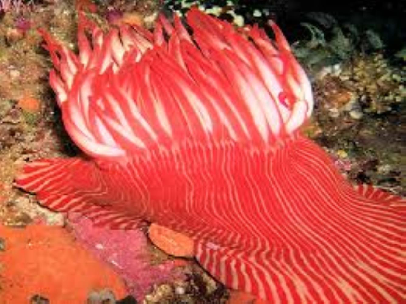 Candy-striped anemone