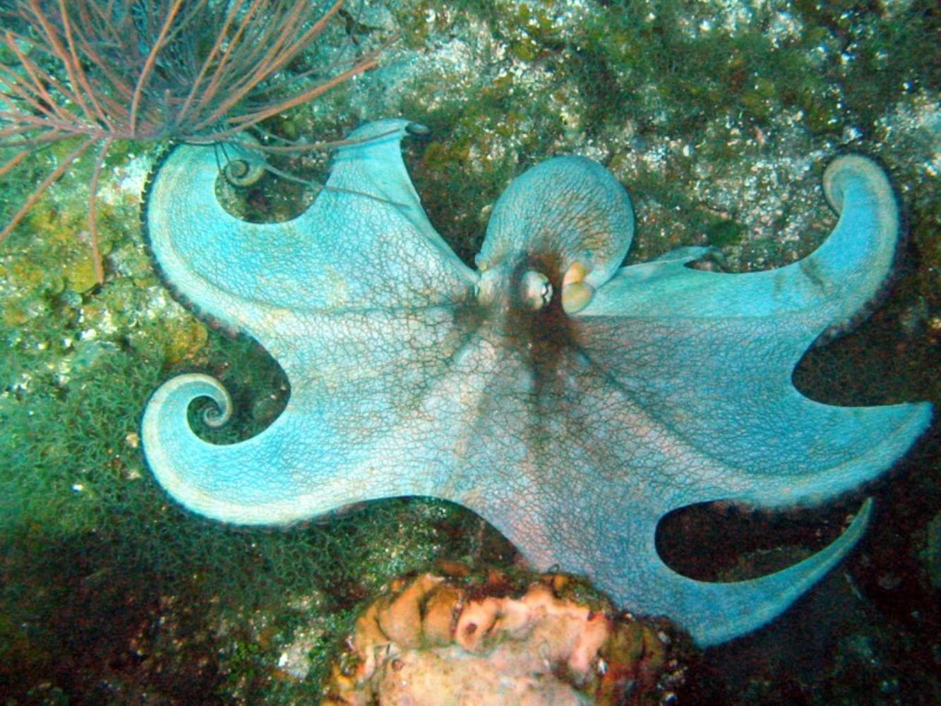 Caribbean Reef Octopus Information and Picture | Sea Animals