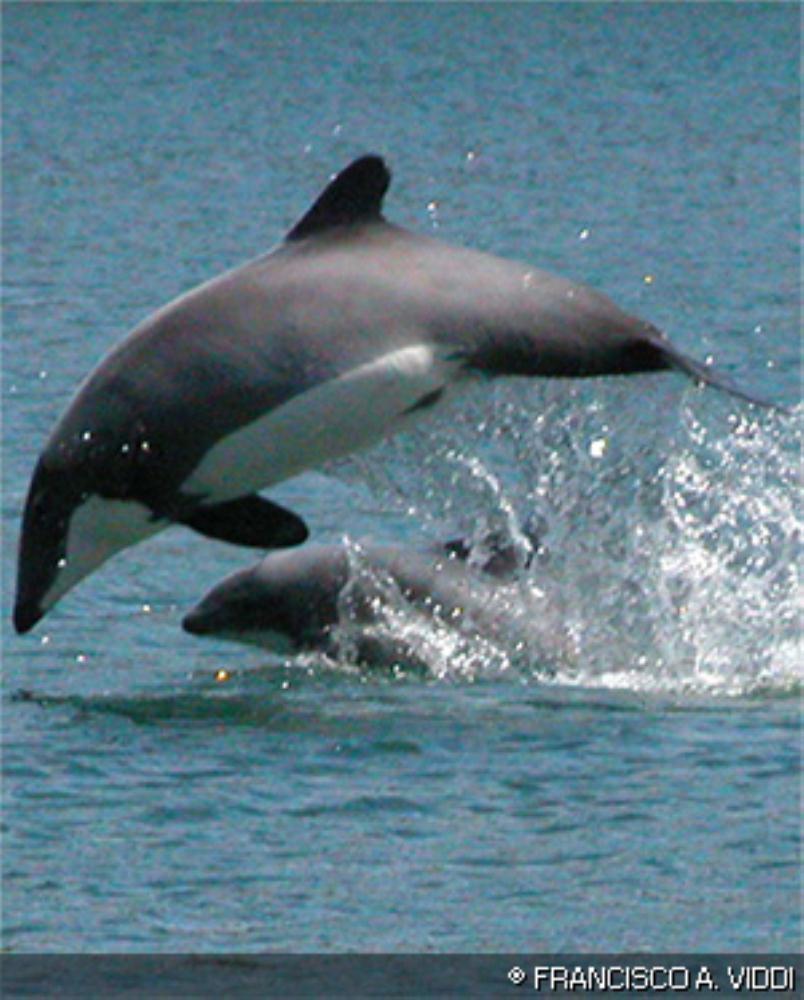 Chilean Dolphin