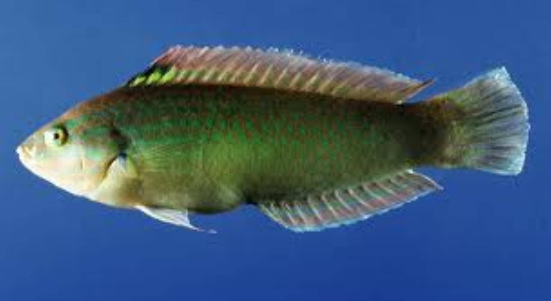 Chinese Wrasse