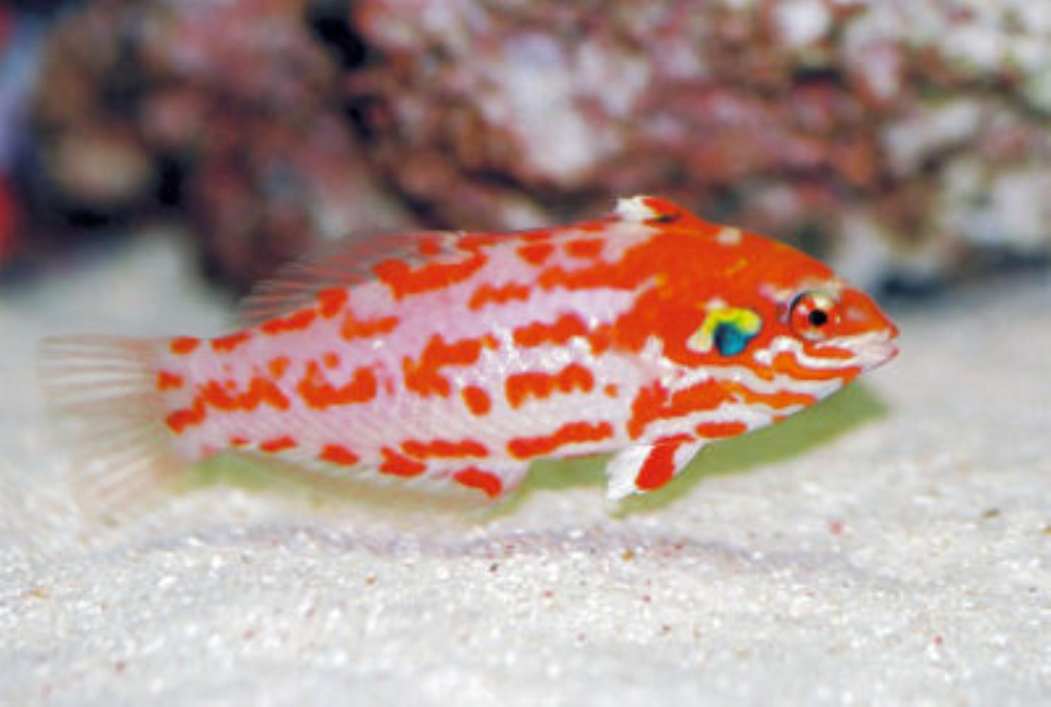Choat's Wrasse