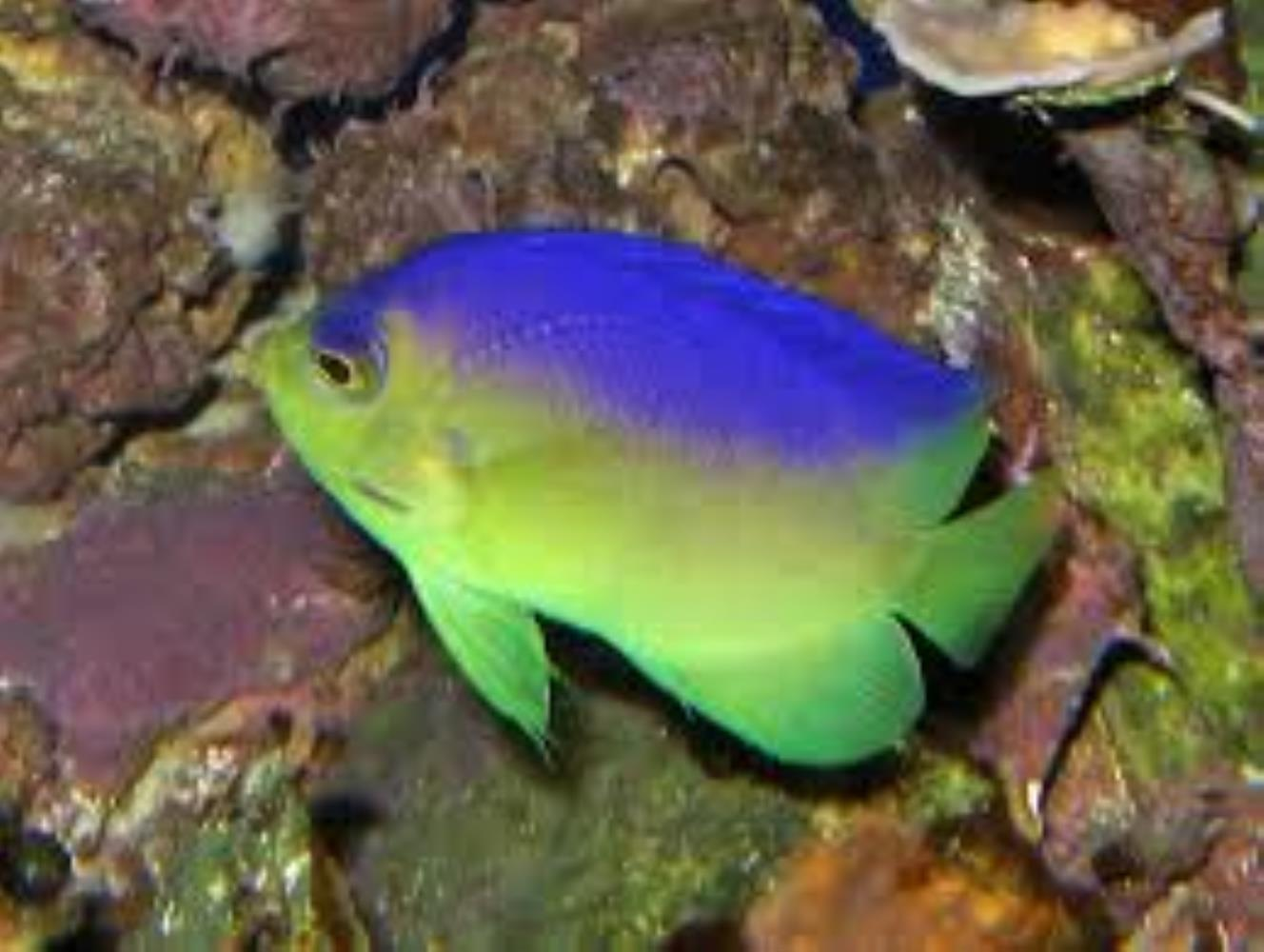 Cocos-Keeling Angelfish